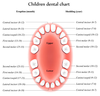 Tooth Eruption Chart - Pediatric Dentist in Noblesville, IN